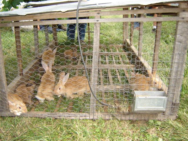 Polyface_Rabbits